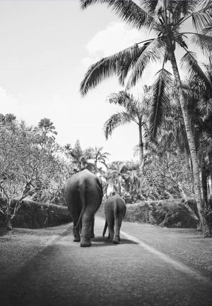 Two elephants on elephant walk