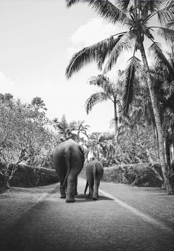 Two elephants on elephant walk