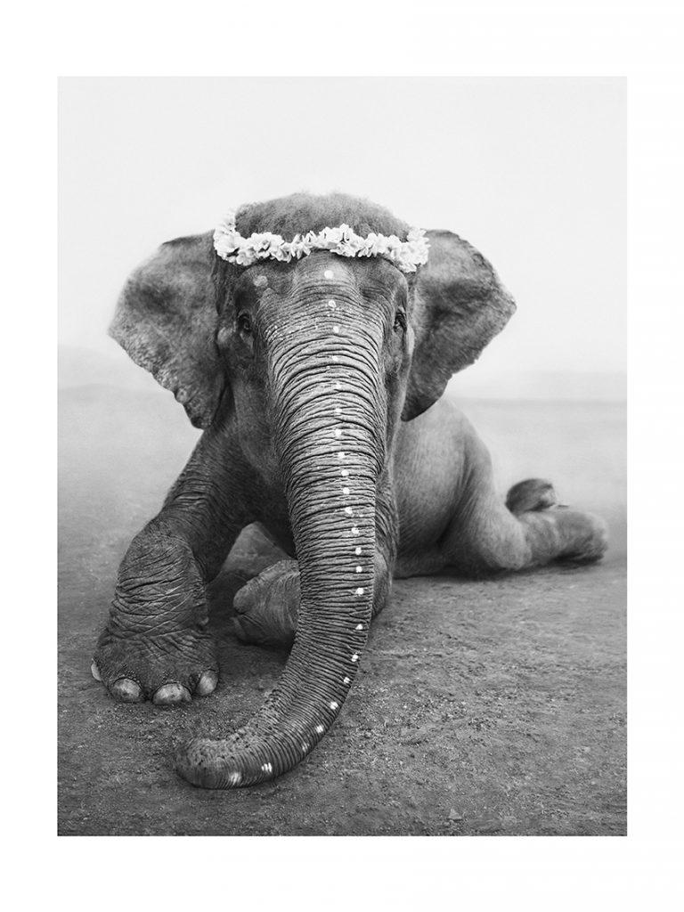 Photo of sweetest Adele elephant laying on the ground
