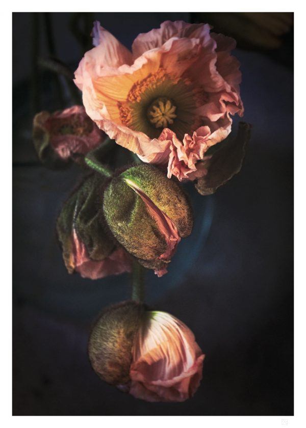 Pink poppy flower poster