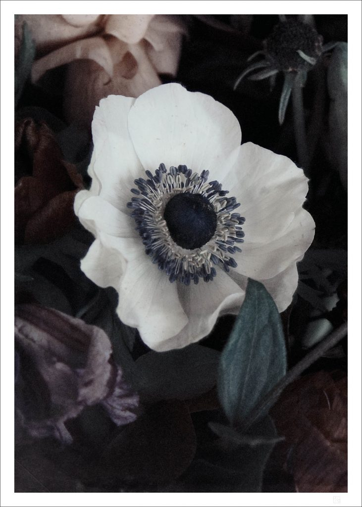 Beautiful and arty poster of a white ranunculus flower in close up makes the White ranunculus flower poster