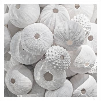 Sea urchin and shell poster