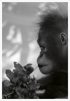 Orangutan and flower