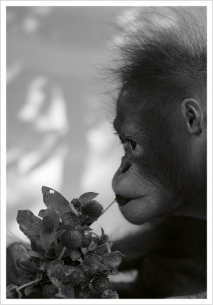 Orangutan and flower